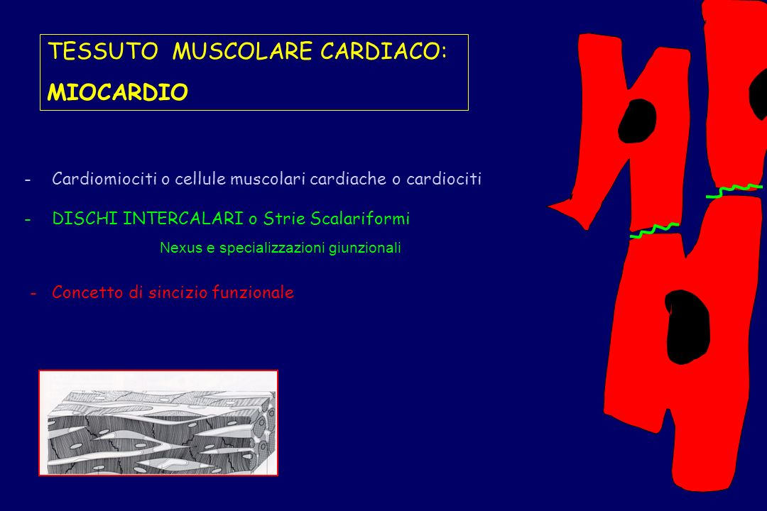 TESSUTO MUSCOLARE CARDIACO: MIOCARDIO