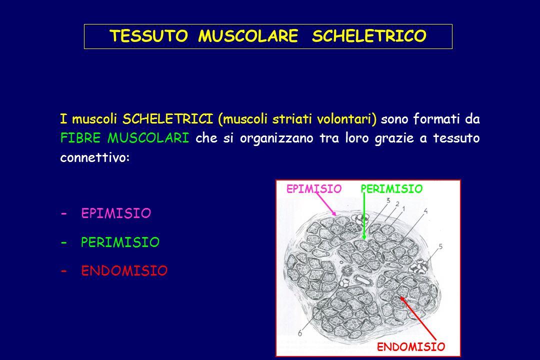 TESSUTO MUSCOLARE SCHELETRICO