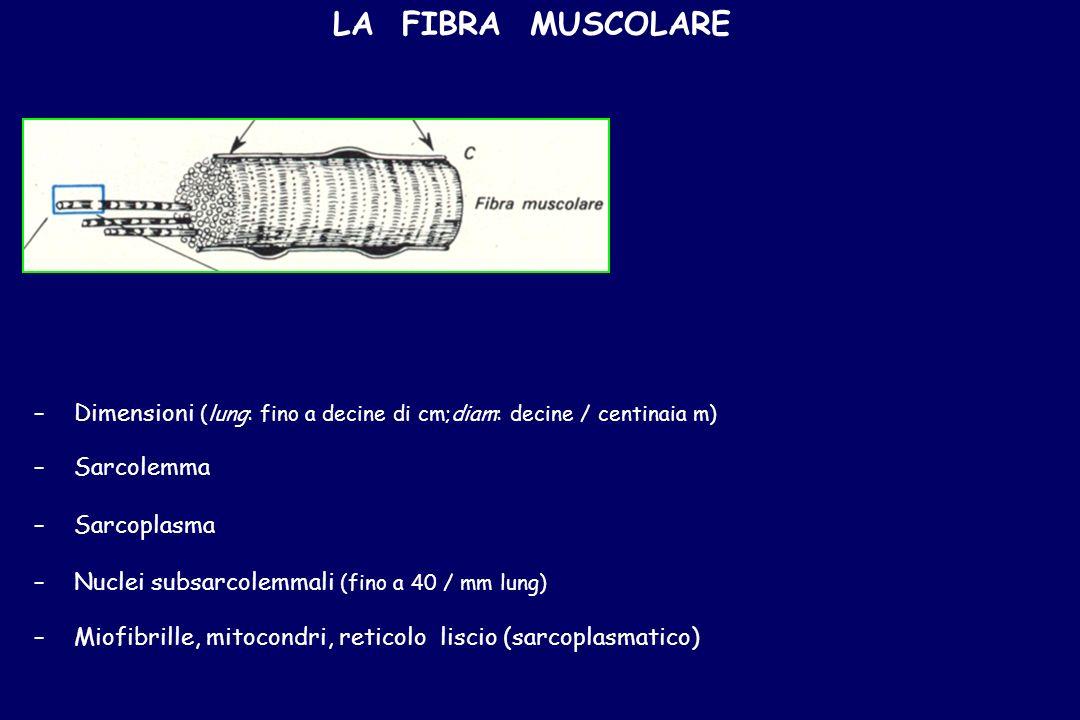 LA FIBRA MUSCOLARE Dimensioni (lung: fino a decine di cm;diam: decine / centinaia m) Sarcolemma.
