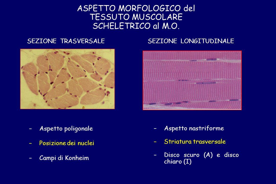 ASPETTO MORFOLOGICO del TESSUTO MUSCOLARE SCHELETRICO al M.O.