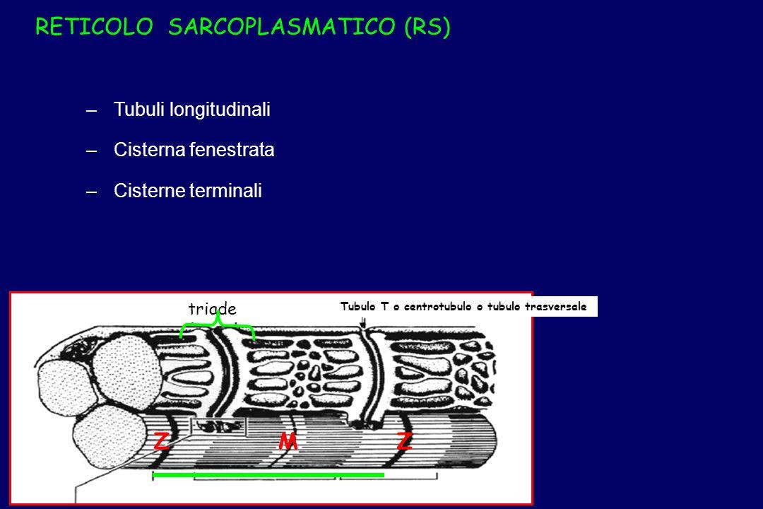 RETICOLO SARCOPLASMATICO (RS)