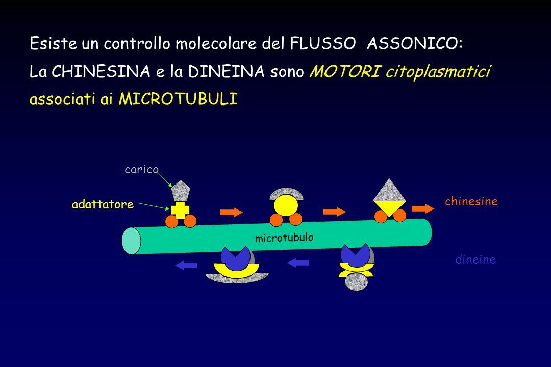 Esiste un controllo molecolare del FLUSSO ASSONICO: