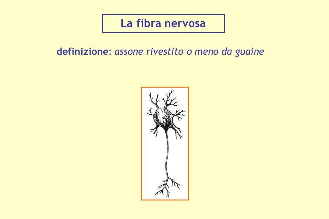 La fibra nervosa definizione: assone rivestito o meno da guaine