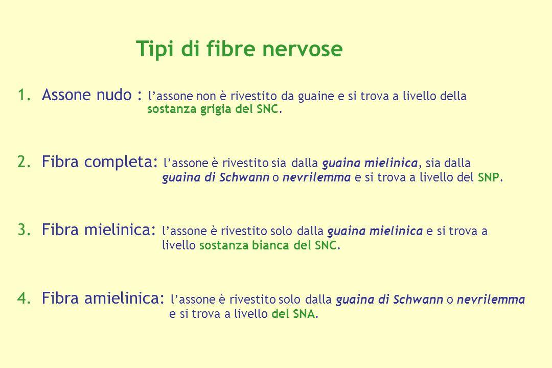 Tipi di fibre nervose Assone nudo : l'assone non è rivestito da guaine e si trova a livello della sostanza grigia del SNC.
