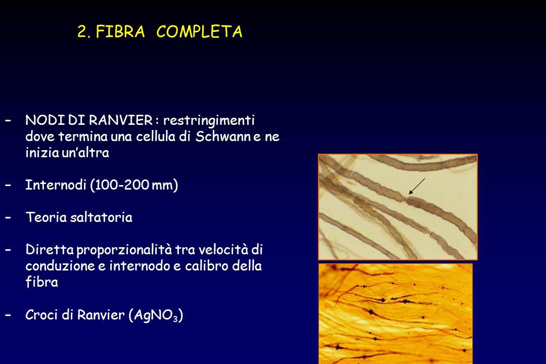2. FIBRA COMPLETA NODI DI RANVIER : restringimenti dove termina una cellula di Schwann e ne inizia un'altra.