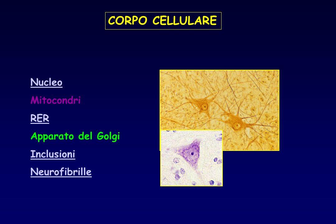 CORPO CELLULARE Nucleo Mitocondri RER Apparato del Golgi Inclusioni