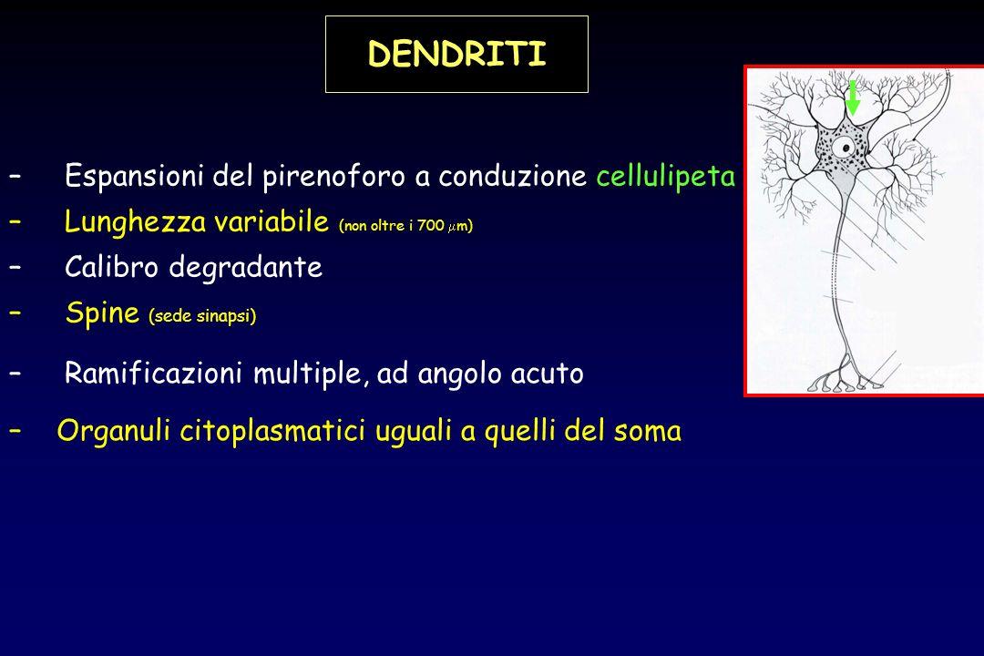 DENDRITI Espansioni del pirenoforo a conduzione cellulipeta