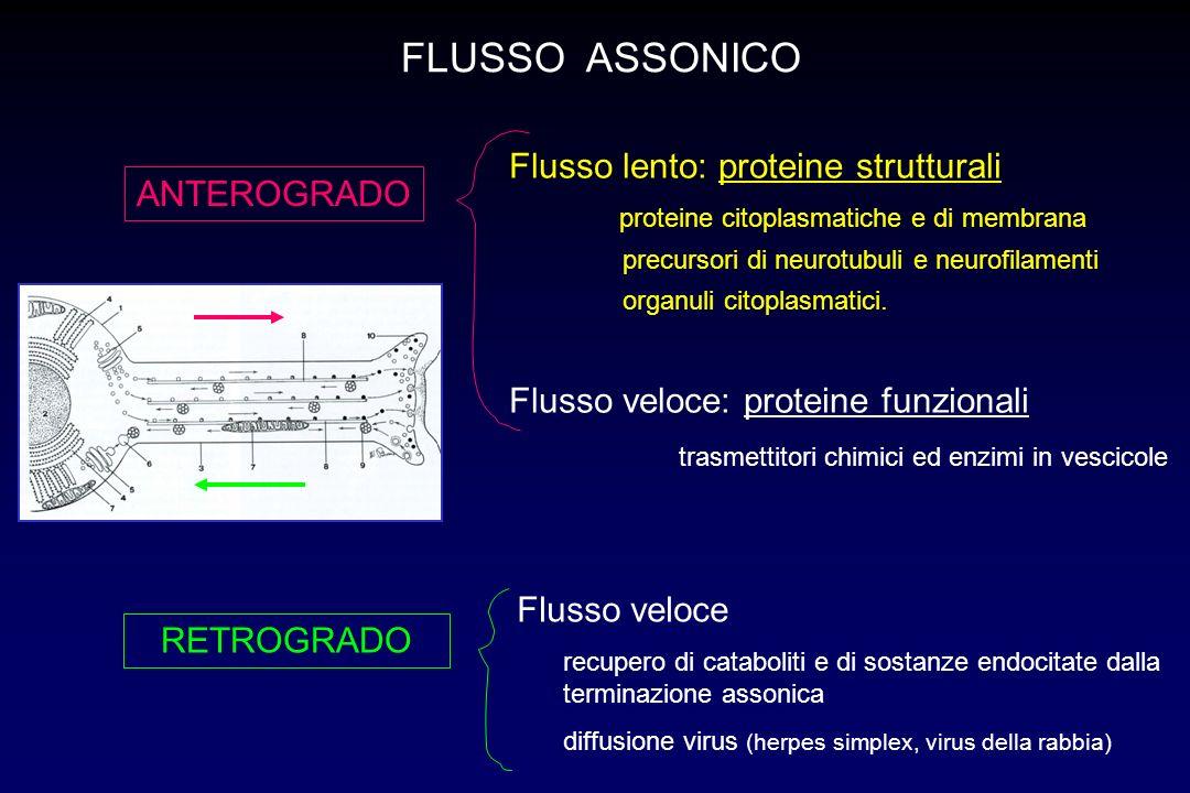 FLUSSO ASSONICO Flusso lento: proteine strutturali ANTEROGRADO