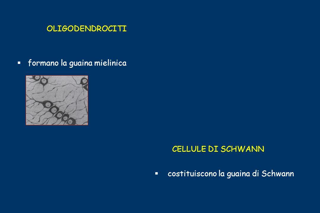 OLIGODENDROCITI formano la guaina mielinica CELLULE DI SCHWANN costituiscono la guaina di Schwann