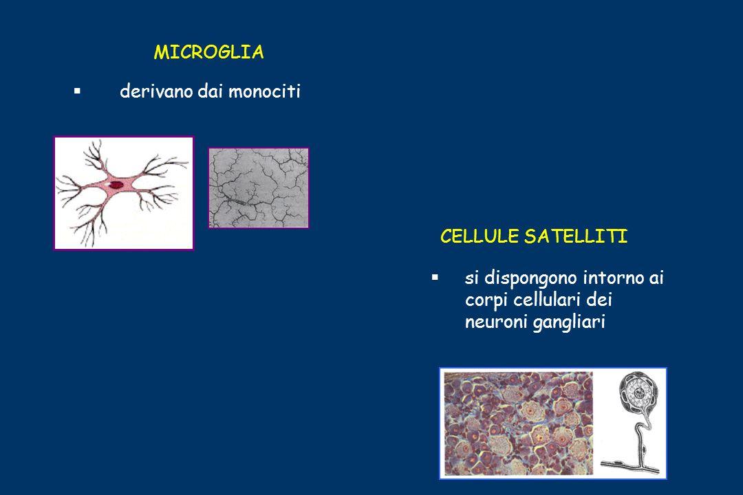 MICROGLIAderivano dai monociti.CELLULE SATELLITI.