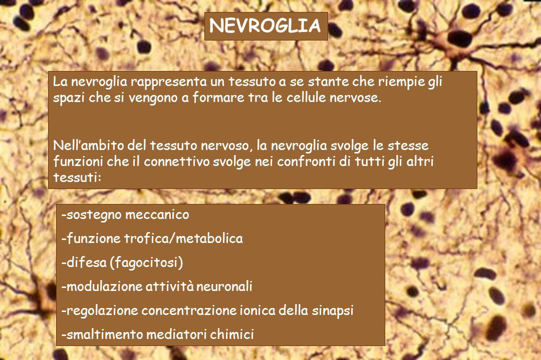NEVROGLIALa nevroglia rappresenta un tessuto a se stante che riempie gli spazi che si vengono a formare tra le cellule nervose.