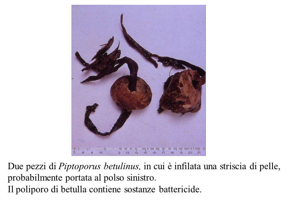 Due pezzi di Piptoporus betulinus, in cui è infilata una striscia di pelle,