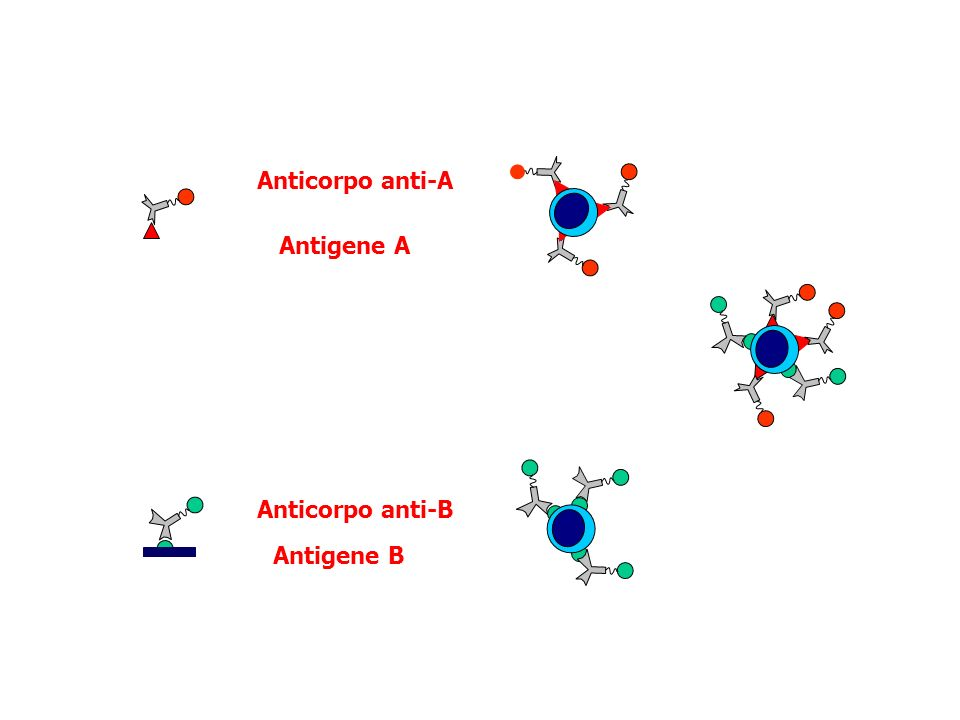 Anticorpo anti-A Antigene A Anticorpo anti-B Antigene B