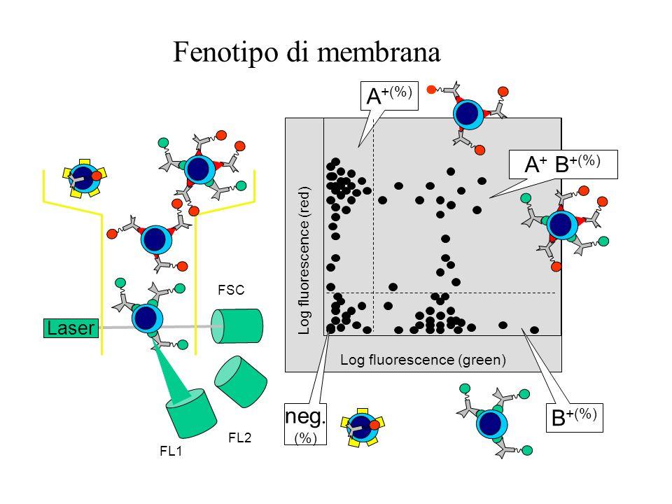 Fenotipo di membrana A+(%) A+ B+(%) neg. B+(%) Laser