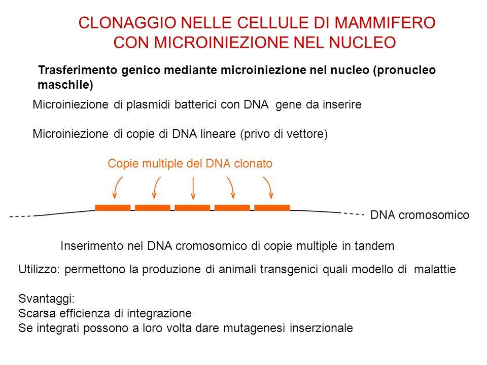 CLONAGGIO NELLE CELLULE DI MAMMIFERO CON MICROINIEZIONE NEL NUCLEO
