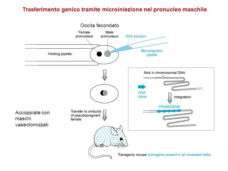 Trasferimento genico tramite microiniezione nel pronucleo maschile