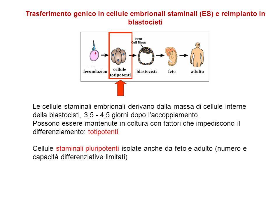 Trasferimento genico in cellule embrionali staminali (ES) e reimpianto in blastocisti