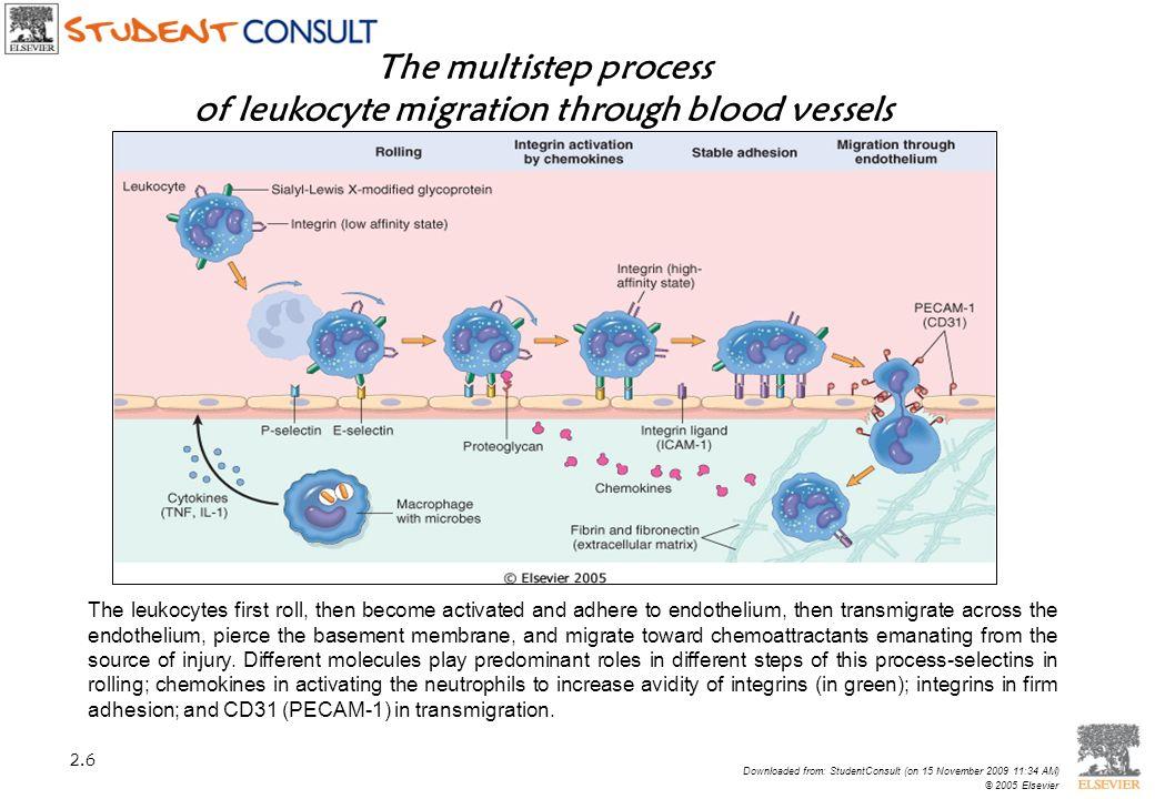 of leukocyte migration through blood vessels