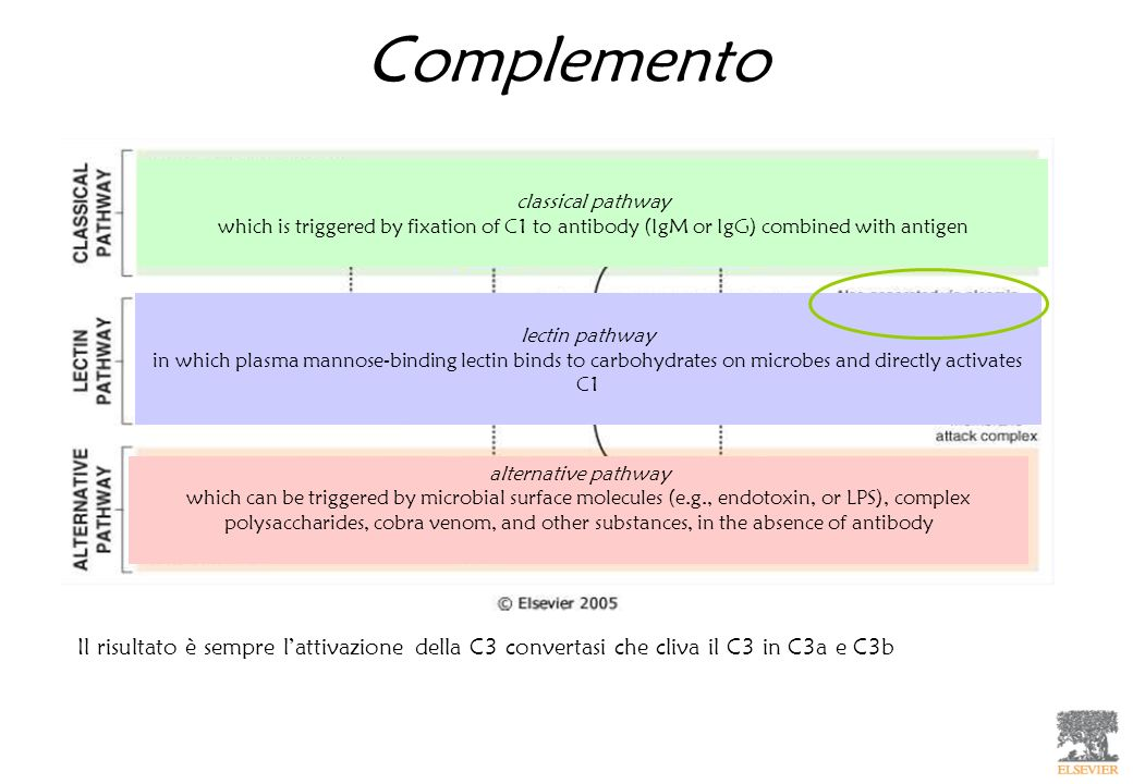 Complemento classical pathway. which is triggered by fixation of C1 to antibody (IgM or IgG) combined with antigen.