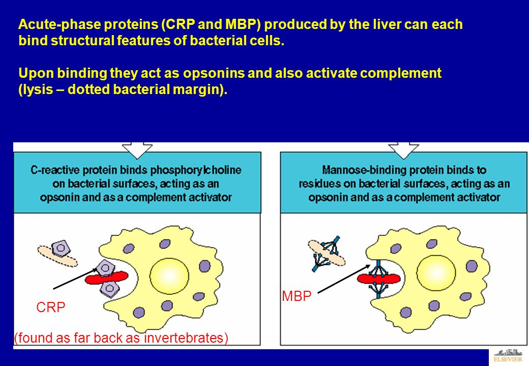 Acute-phase proteins (CRP and MBP) produced by the liver can each