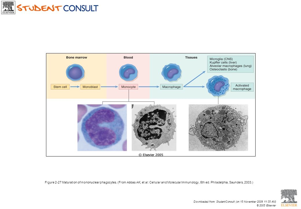 Figure 2-27 Maturation of mononuclear phagocytes