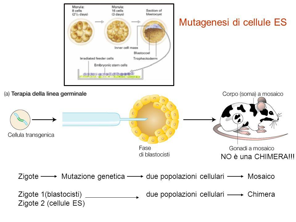 Mutagenesi di cellule ES
