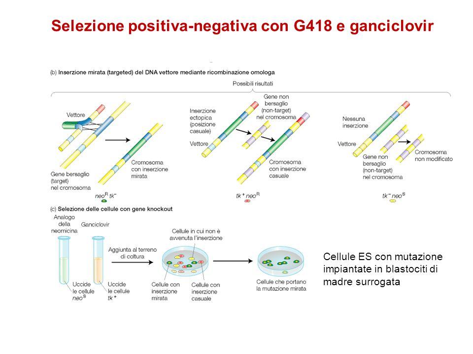 Selezione positiva-negativa con G418 e ganciclovir