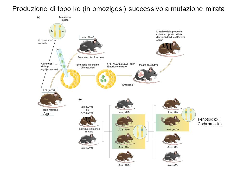 Produzione di topo ko (in omozigosi) successivo a mutazione mirata