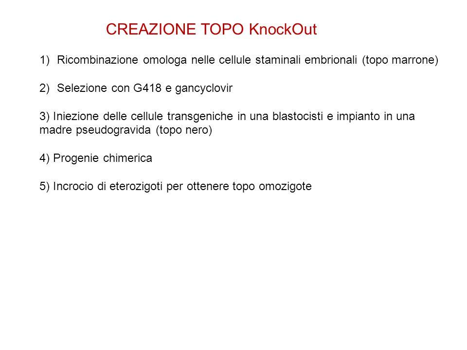 CREAZIONE TOPO KnockOut