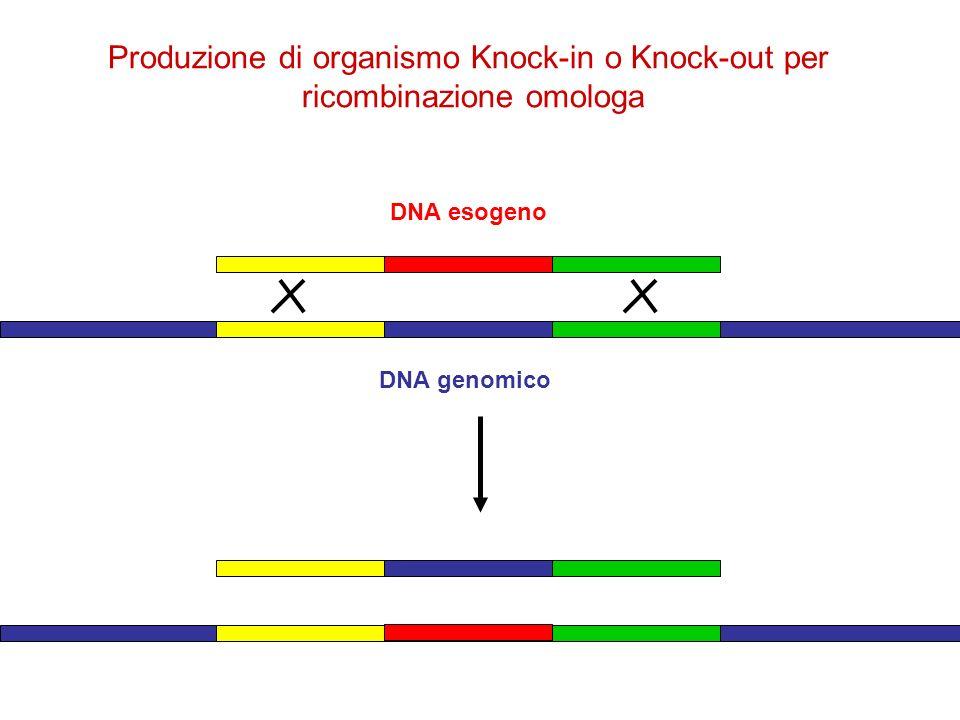 Produzione di organismo Knock-in o Knock-out per