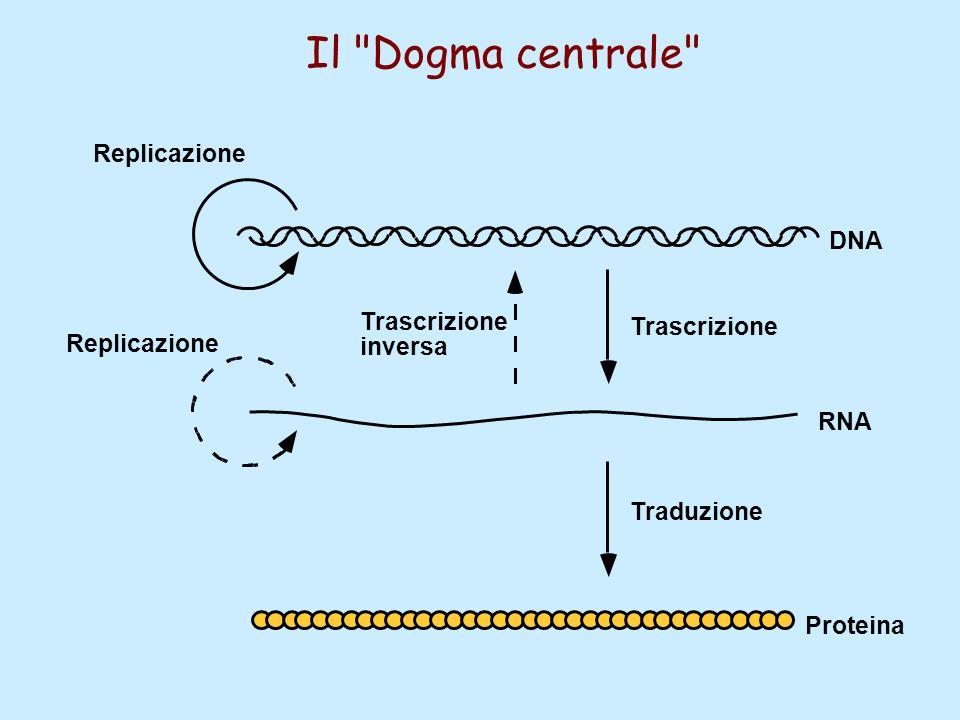 Il Dogma centrale Replicazione DNA Trascrizione Trascrizione