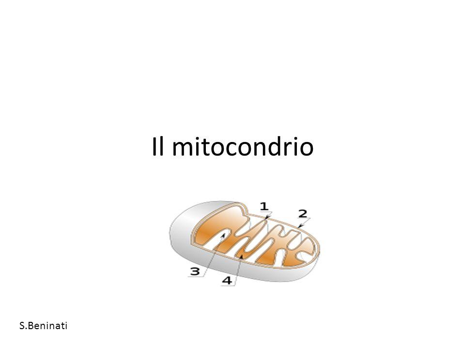 Il mitocondrio S.Beninati