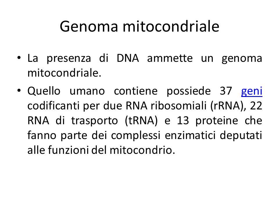 Genoma mitocondrialeLa presenza di DNA ammette un genoma mitocondriale.