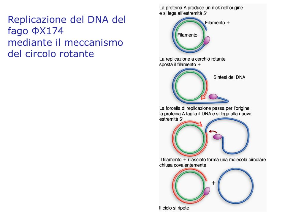 Replicazione del DNA del fago ΦX174
