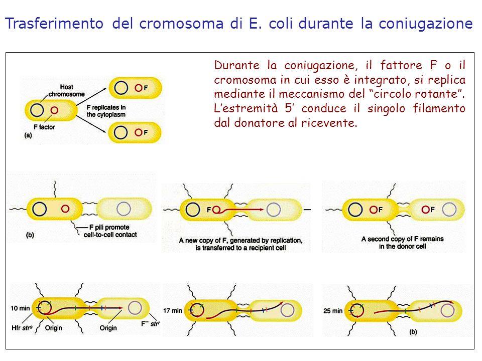 Trasferimento del cromosoma di E. coli durante la coniugazione