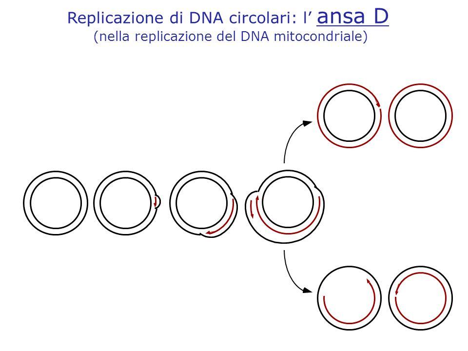 Replicazione di DNA circolari: l' ansa D