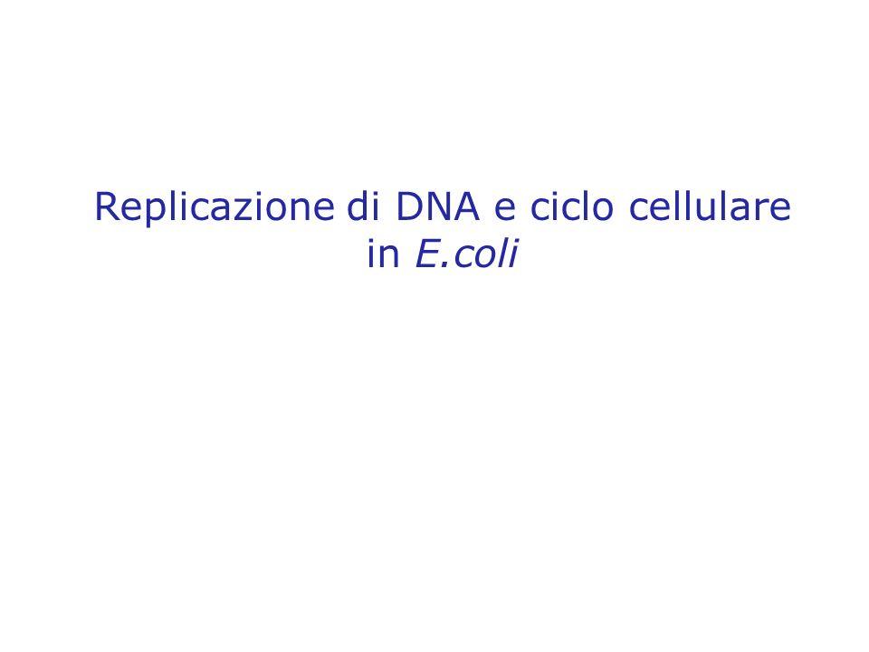Replicazione di DNA e ciclo cellulare