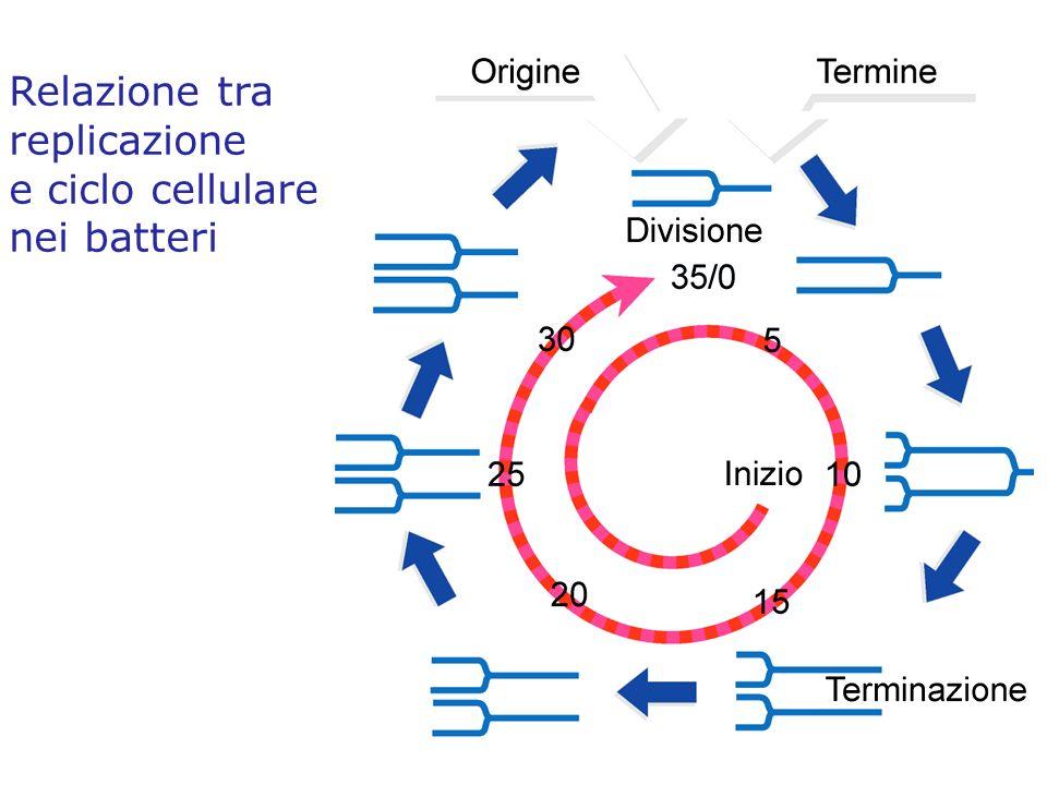 Relazione tra replicazione e ciclo cellulare nei batteri
