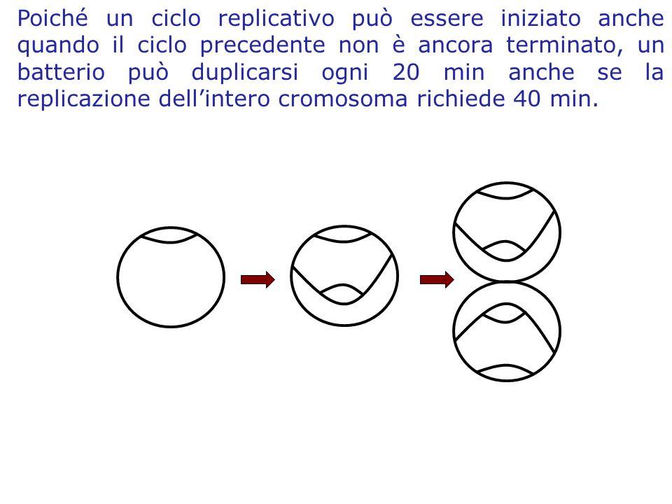 Poiché un ciclo replicativo può essere iniziato anche quando il ciclo precedente non è ancora terminato, un batterio può duplicarsi ogni 20 min anche se la replicazione dell'intero cromosoma richiede 40 min.