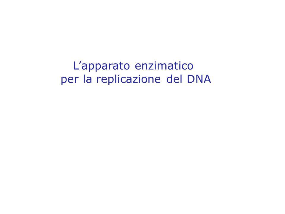L'apparato enzimatico per la replicazione del DNA