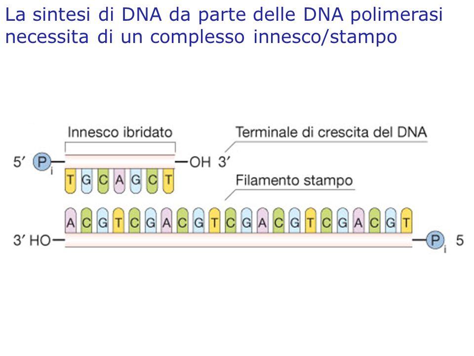 La sintesi di DNA da parte delle DNA polimerasi necessita di un complesso innesco/stampo