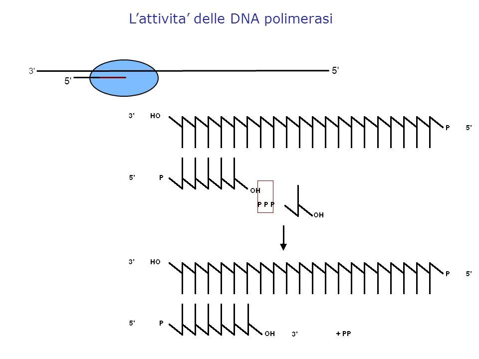 L'attivita' delle DNA polimerasi