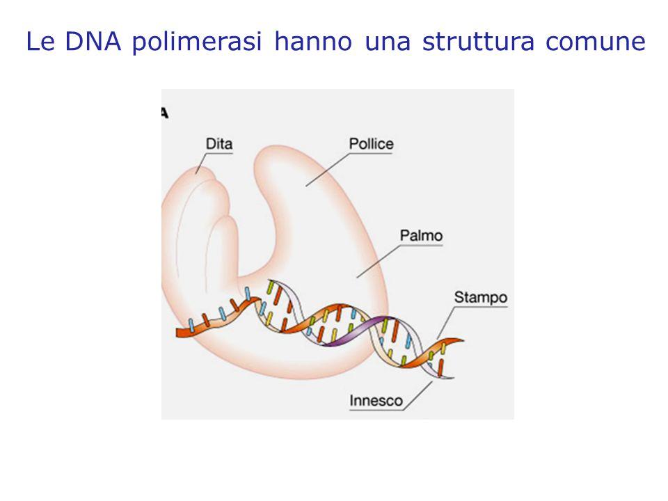 Le DNA polimerasi hanno una struttura comune