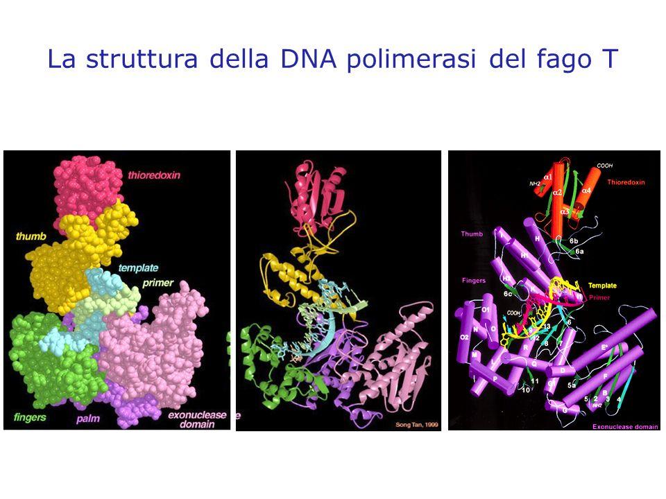 La struttura della DNA polimerasi del fago T