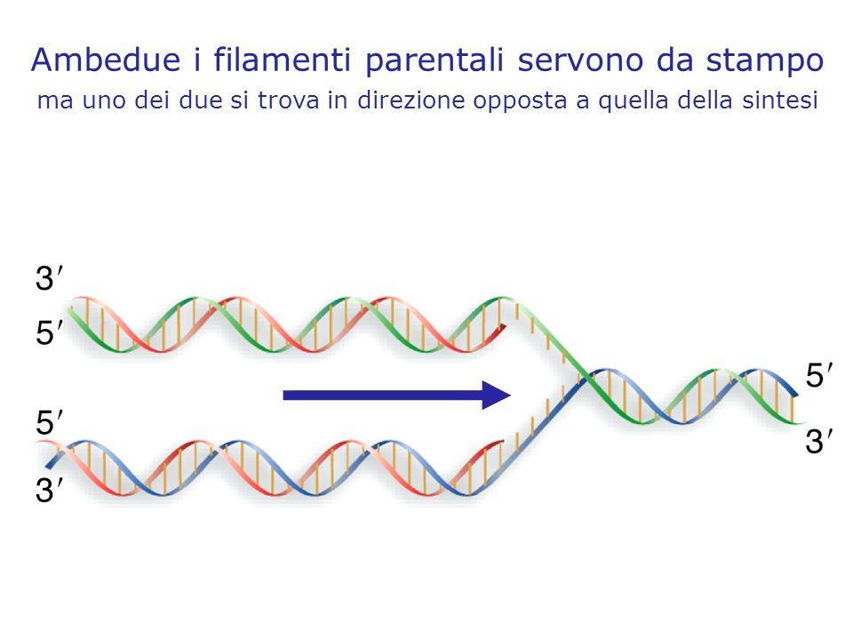Ambedue i filamenti parentali servono da stampo