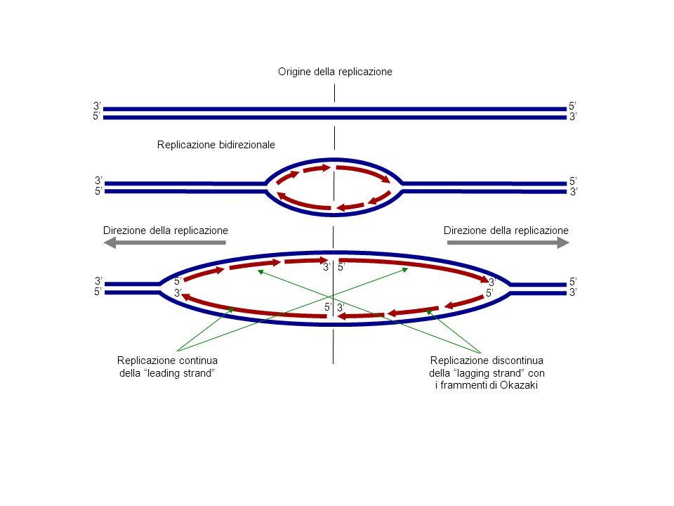 Replicazione continua della leading strand