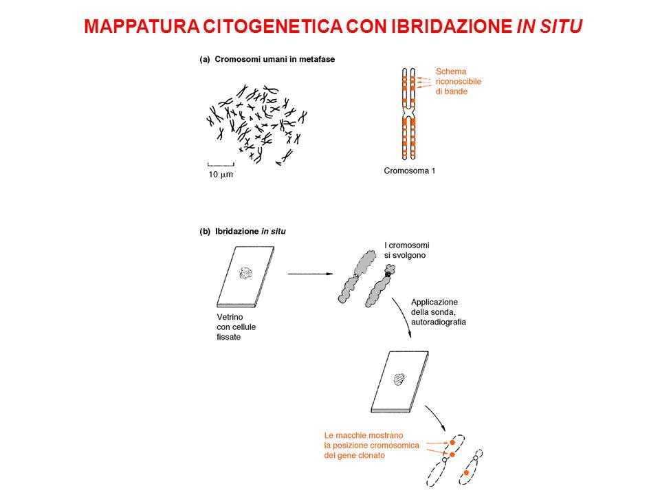 MAPPATURA CITOGENETICA CON IBRIDAZIONE IN SITU