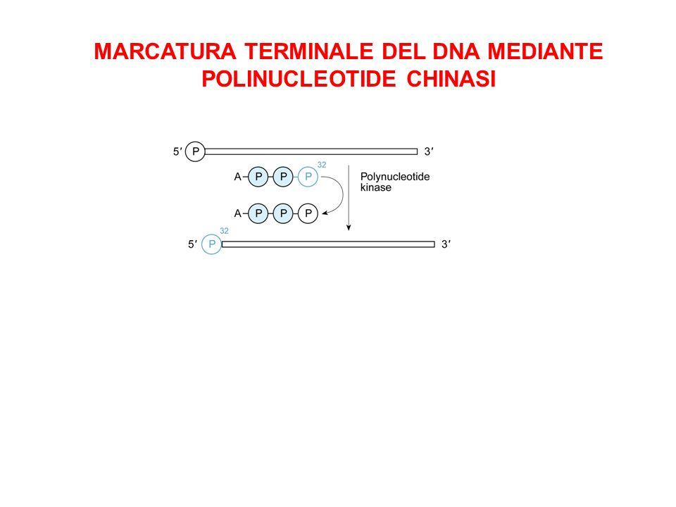 MARCATURA TERMINALE DEL DNA MEDIANTE POLINUCLEOTIDE CHINASI