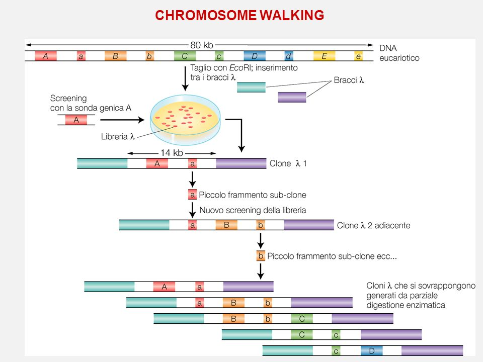 CHROMOSOME WALKING