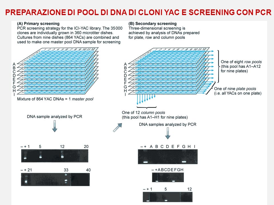 PREPARAZIONE DI POOL DI DNA DI CLONI YAC E SCREENING CON PCR